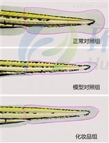 利用斑马鱼模型评价化妆品抗光老化作用